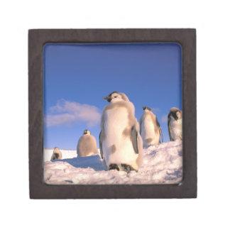 La Antártida territorio antártico australiano 6 Caja De Recuerdo De Calidad