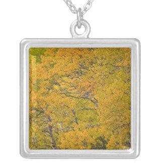 La arboleda de Aspen en caída máxima colorea Colgante Cuadrado