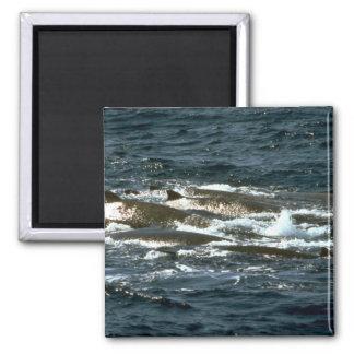 La ballena beaked de Baird Imán De Frigorifico