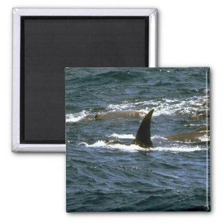 La ballena beaked de Baird Imanes De Nevera