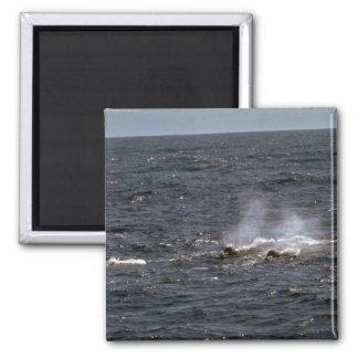 La ballena beaked de Baird Iman De Frigorífico