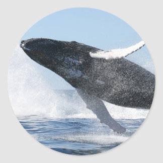 La ballena jorobada que salta arriba pegatina redonda