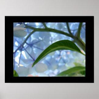 La bella arte floral azul imprime el Hydrangea Flo Posters