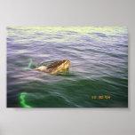 La cabeza de la ballena apenas por encima de la su posters