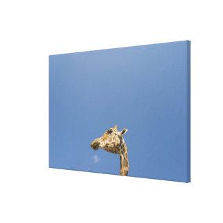La cabeza de la jirafa impresión en lienzo
