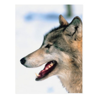 La cabeza del lobo postales