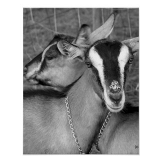 La cabra alpina/de Oberhasli hace el bw de la foto Póster