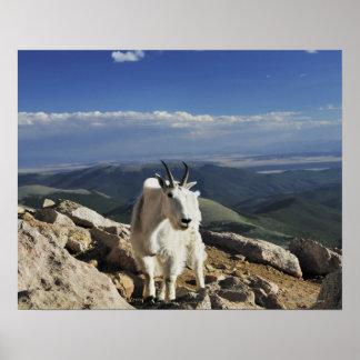La cabra de montaña rocosa blanca de las lanas se  póster