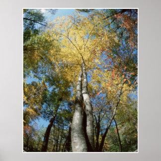 La caída colorea - Great Smoky Mountains - árboles Impresiones