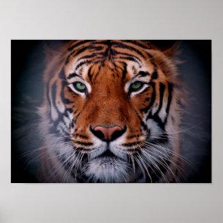 La cara del tigre observa el poster imponente del