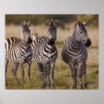 La cebra de Burchell, burchellii del Equus, Masai  Poster