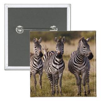 La cebra de Burchell, burchellii del Equus, Masai  Pins