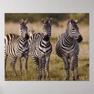 La cebra de Burchell, burchellii del Equus, Masai  Póster