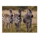La cebra de Burchell, burchellii del Equus, Masai Tarjetas Postales