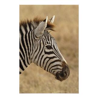La cebra de Burchell, burchellii del Equus, Ngoron Cojinete