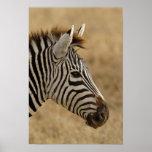 La cebra de Burchell, burchellii del Equus, Ngoron Poster