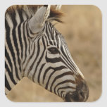 La cebra de Burchell, burchellii del Equus, Pegatina Cuadrada