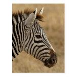La cebra de Burchell, burchellii del Equus, Postal