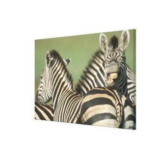 La cebra de Burchell (burchellii del Equus). Tala Impresión En Lienzo
