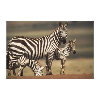 La cebra de Burchell del bebé con la madre Impresión En Lienzo Estirada
