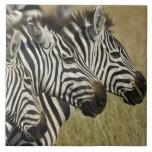 La cebra de Burchelli, burchellii del Equus, Masai Azulejo Cuadrado Grande