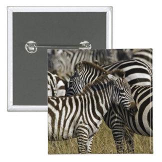 La cebra de Burchelli, burchellii del Equus, Masai Pins