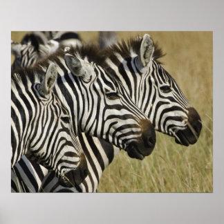 La cebra de Burchelli, burchellii del Equus, Masai Póster