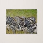 La cebra de Burchelli, burchellii del Equus, Masai Rompecabezas Con Fotos