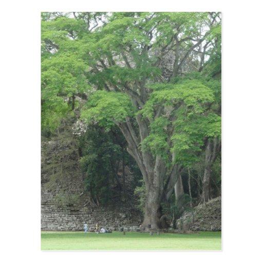La Ceiba Tree at Las Ruinas de Copan Postcards