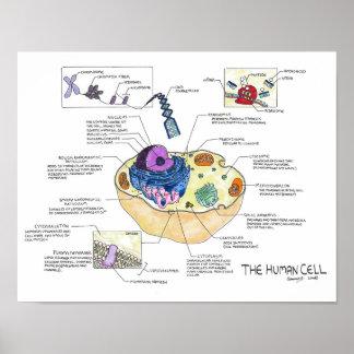 La célula humana póster