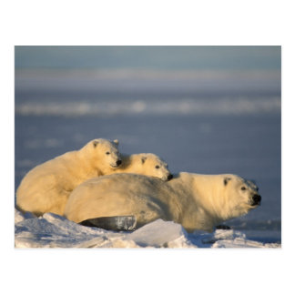 La cerda del oso polar que se acuesta con la tarjeta postal