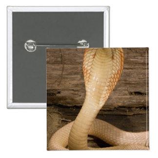 La cobra de Monacled del albino, kaouthia del Naja Pin Cuadrada 5 Cm