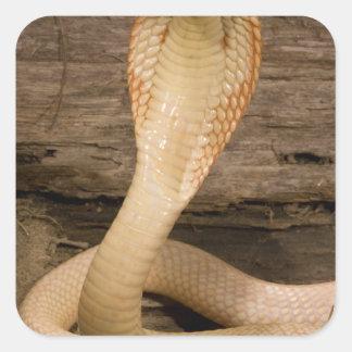 La cobra de Monacled del albino, kaouthia del Pegatina Cuadrada