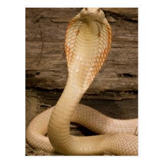 La cobra de Monacled del albino, kaouthia del Postal