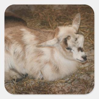 La derecha doeling del bebé de la pequeña cabra pegatina cuadrada