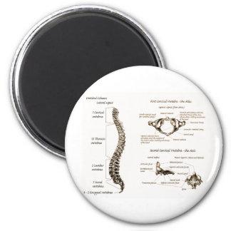 La espina dorsal detalla sepia imán redondo 5 cm