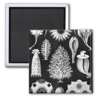 La esponja del mar - imagen 1904 del naturalista imán cuadrado