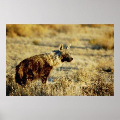 La fauna del hyena de Brown imprime, los posters y