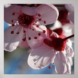 La flor de cerezo florece fotografía macra póster