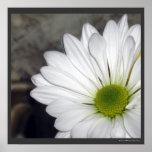 La flor de las margaritas de la margarita blanca f posters