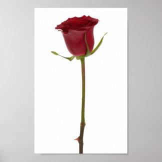 La flor fijó 1 - rosa rojo posters