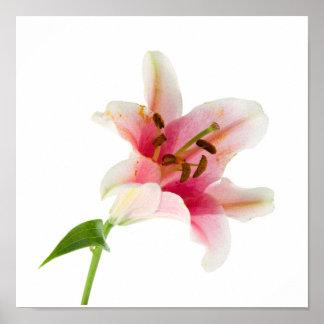 La flor fijó 3 - Lilly rosado Póster