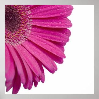 La flor rosada de la margarita con agua cae la fot impresiones