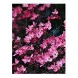 La flor rosada del árbol de Dogwood Postal