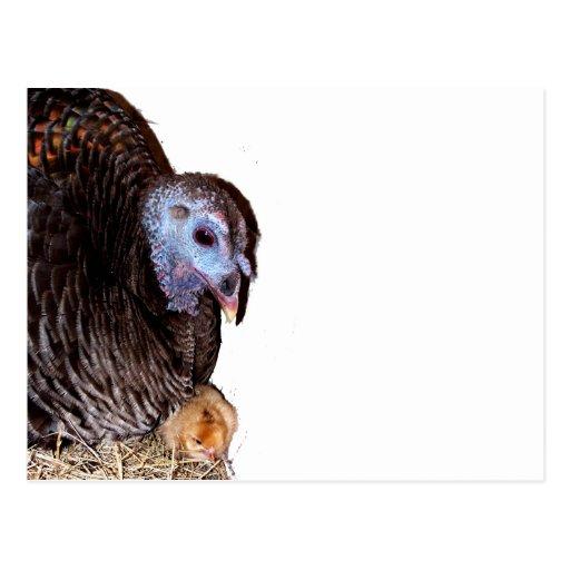 La Florida femenina Turquía salvaje con el polluel Postal