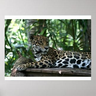 La Florida Jaguar que mira detrás que se acuesta Póster