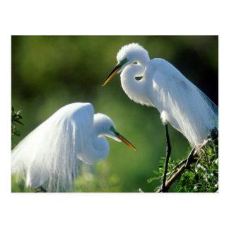 La Florida, Venecia, santuario de Audubon, Egret Tarjeta Postal