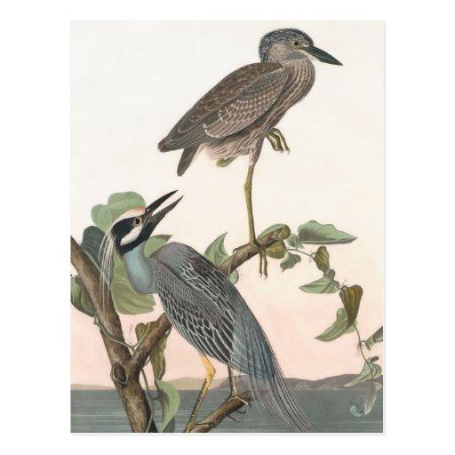 La garza Amarillo-coronada de Audubon Tarjeta Postal