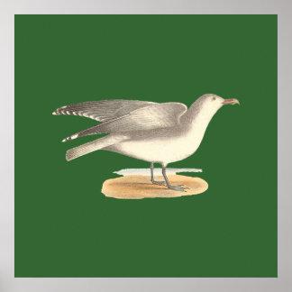 La gaviota del invierno argentatus del Larus Posters