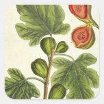 """La higuera, platea 125 """"de un herbario curioso"""", p pegatina cuadradas personalizadas"""